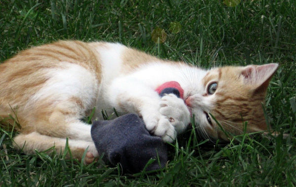 Why does my cat pick up socks and meow?