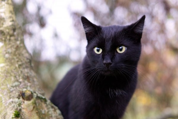 A black cat staring