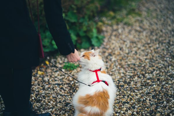 White cat with leash.
