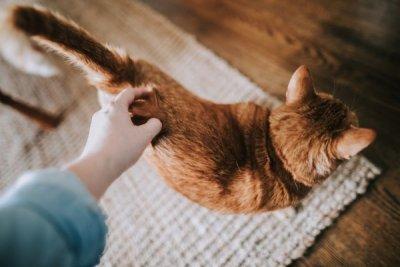 A brown cat.