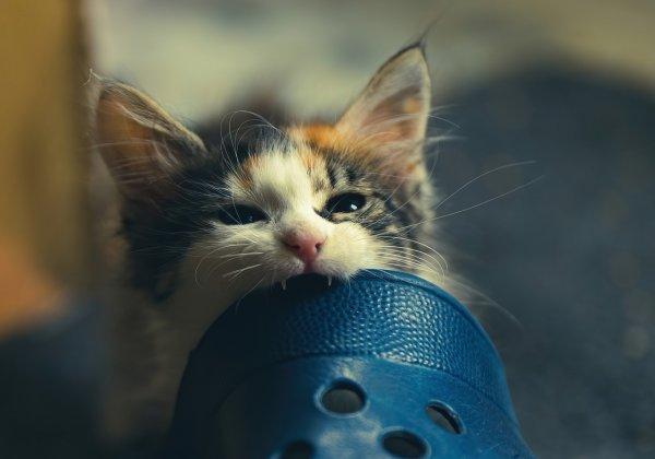 Kitten biting a Crocs.