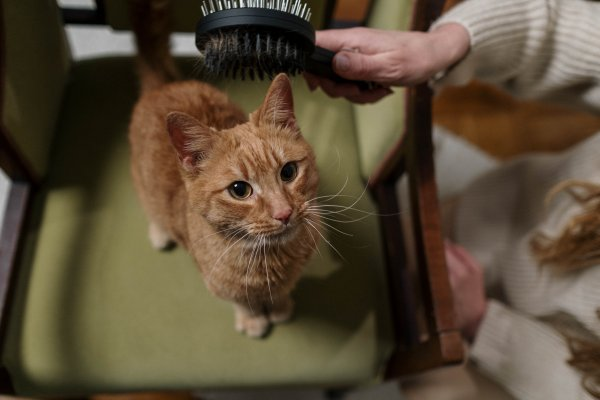 Cat being groomed.