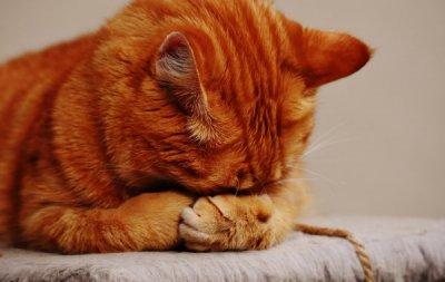A cat hiding its face.