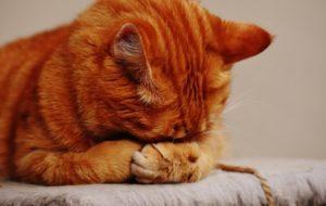 Orange cat hiding it's face.