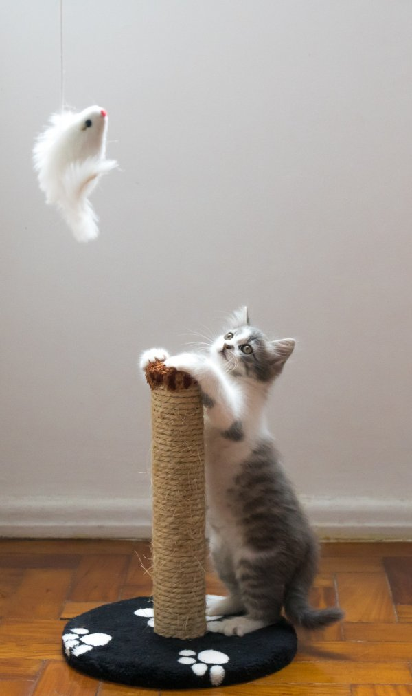 Cat playing.