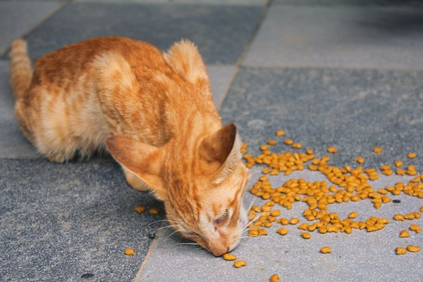 An orange cat eating.