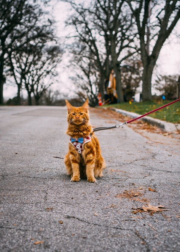 An orange cat with a leash.