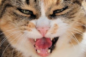 An angry-looking cat.