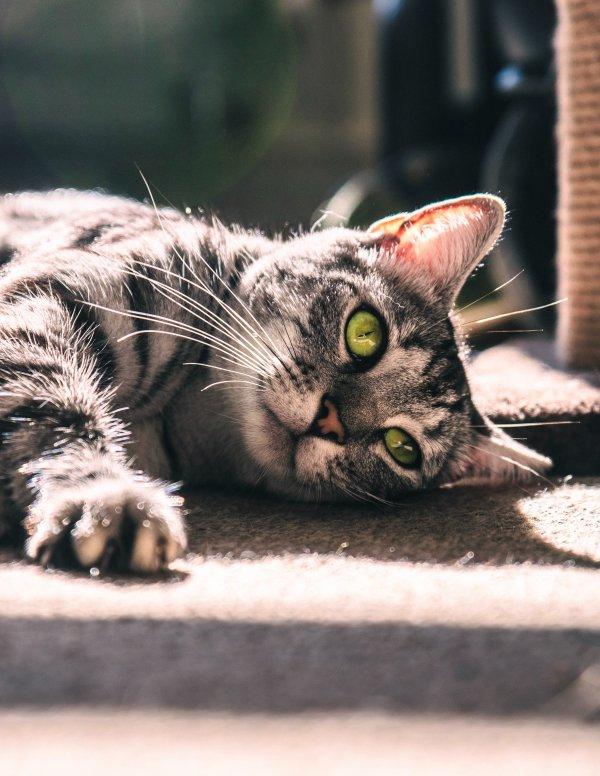 A cat lying down.
