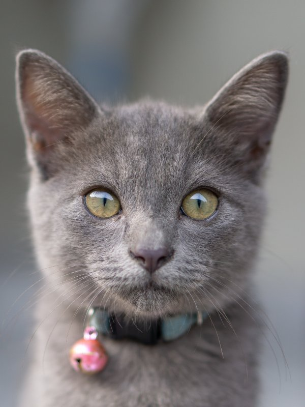 A grey cat staring.