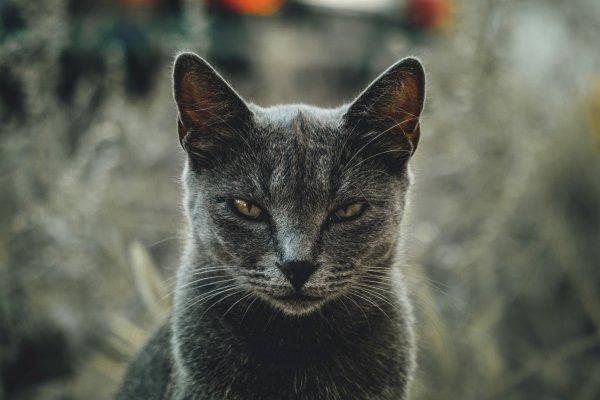 A cat hissing.