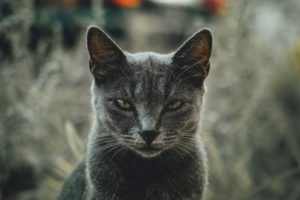 An angry looking black cat.
