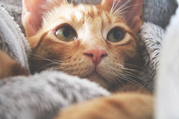 An orange kitten staring.