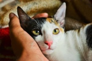 A cat staring with its head in its owners hand.