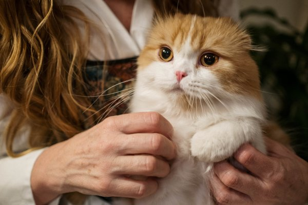 Orange and white cat being held by woman.