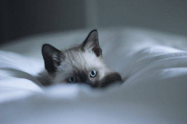 Cat hiding in the sheets.