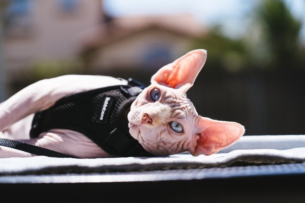 A cat with a harness.